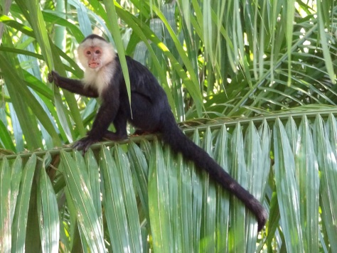 white faced monkey